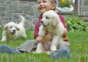 Golden Retriever puppy text for more info through (712) 382-8007