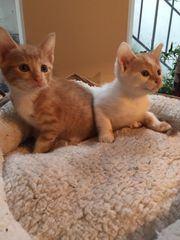 2 CUDDLY TURKISH VAN CROSSED KITTEN AVAILABLE